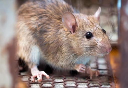 Dedetização de ratos - Inset Máxima